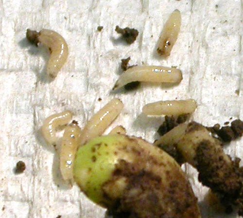 Seedcorn Maggot